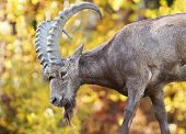 picture of mongol  - Male Siberian ibex Capra sibirica with his big horns over fall color background