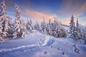 pic of snow forest  - Fir trees under the snow - JPG