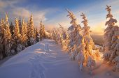 picture of snow forest  - Fir trees under the snow - JPG