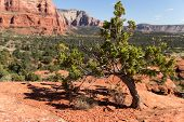 image of juniper-tree  - A juniper tree in the desert, Sedona, AZ, USA.