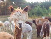 picture of alpaca  - Beautiful alpaca  - JPG