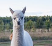 stock photo of alpaca  - Beautiful alpaca  - JPG