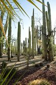 picture of pipe organ  - Cactus in organ pipe - JPG