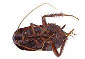 foto of cockroach  - Dead cockroach  - JPG
