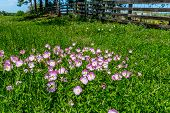 picture of texas star  - A Meadow Blanketed with Texas Pink Evening or Showy Evening Primrose Wildflowers - JPG