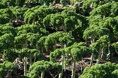 picture of leafy  - A field of kale - JPG