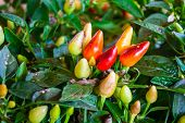 stock photo of pepper  - Colorful Ornamental Pepper - JPG