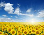 picture of sunflower  - field of sunflowers and sun in the blue sky - JPG