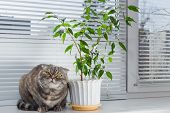 pic of scottish-fold  - Sad cat on the windowsill. She is bored.