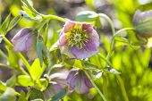 stock photo of helleborus  - Close up of back lit pink Hellebore flowers with shallow depth of field - JPG