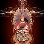 picture of rectum  - Anatomy of human organs in x - JPG