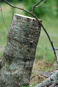 image of forlorn  - A forlorn image of a tree that has been cut off into a stump - JPG