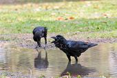 picture of wilder  - natural scene of crow bathing in field use for wild life in natural wilderness - JPG