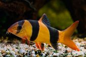 foto of clown fish  - Botia clown fish  - JPG
