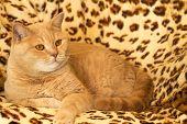 foto of irish  - Irish Red cat resting on a leopard print rug - JPG
