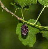 picture of mulberry  - A ripe mulberry growing in the wild - JPG