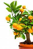 image of tangerine-tree  - tangerine tree in pot on a white background - JPG