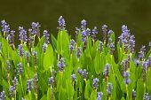image of weed  - Violet blue Pontederia flowers growing by the lake - JPG