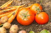 picture of carrot  - Carrots potatoes and carrots lying naturally on soil ground - JPG