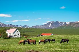 picture of iceland farm  - Typical icelandic farm with grazing icelandic horses - JPG