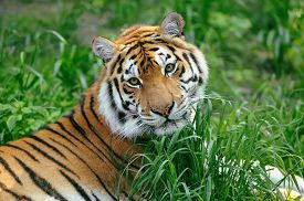 foto of tiger eye  - Amur Tigers on a geass in summer day - JPG