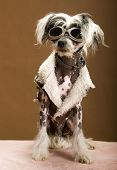 Sexy Chinese Crested Hairless Sporting A Cool Coat And Glasses