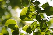 pic of close-up  - Close up of green leaves on a tree - JPG