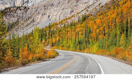 Yellow Aspen trees by the