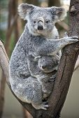The Koala Is Looking After Her Joey In The Fork Of A Tree poster