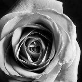 image of single white rose  - Black and white closeup of a single rose - JPG