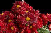 Fading Red Chrysanthemum Flower On Black Horizontal poster