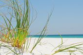 picture of sea oats  - Sea grass on white sand in Pensacola - JPG
