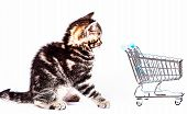 Small Kitten Pet. Scottish Kitten With Shopping Cart poster