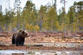 Wild Brown Bear (ursus Arctos) Walking In The Taiga In Ealy Spring, Matte Style poster