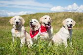 Group Of Young Golden Retriever Dogs Posing In The Field In Sunny Day In Summer. Two Golden Retrieve poster