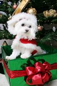 image of christmas dog  - santa puppy in gift under christmas tree - JPG