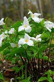 pic of trillium  - White Trillium blooming in woodlands Ontario provincial flower - JPG