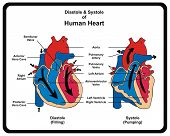 Diastole & Systole (Filling & Pumping) of Human Heart