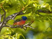 image of sun perch  - Painted Bunting - JPG