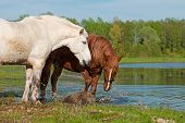 Two horses play in water on spring background