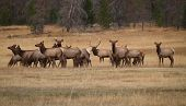 image of harem  - Bull elk and his harem in Colorado