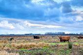 pic of highland-cattle  - Scottish Highlands cattle on pasture in Netherlands - JPG
