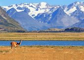 Patagonia. Harmonious landscape - yellow field, blue lake and snow-capped mountains. On the banks of