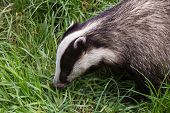 foto of badger  - Badger  - JPG