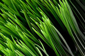 foto of fescue  - Tilted close - JPG