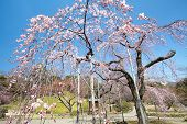 stock photo of fukushima  - Beautiful Cherry blossom  - JPG