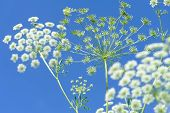 image of elderflower  - elderflowers and buds under clear blue sky - JPG