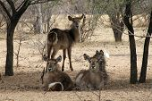 picture of bosveld  - Herd of Alert Waterbuck Listening Carefully from Under Bushveld Trees - JPG