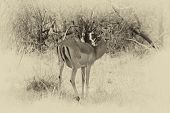 stock photo of bosveld  - Sepia Toned Picture of an Alert Impala Ewe walking through Bushveld Grass Stopped to Listen - JPG