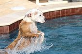 stock photo of pitbull  - A pitbull breed dog jumping from the top step into the swimming pool - JPG